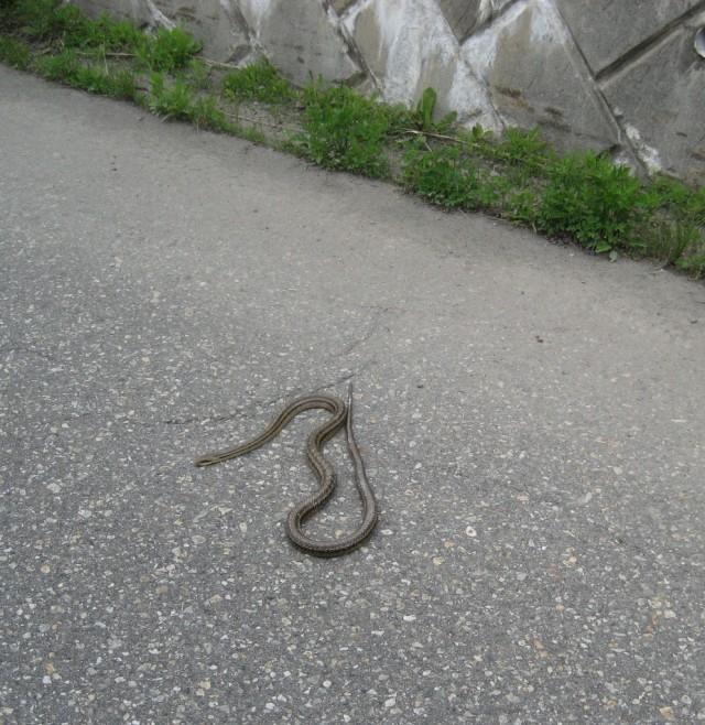Snake in Japan