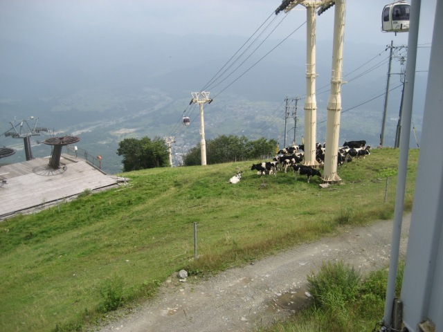 Cows on Happo